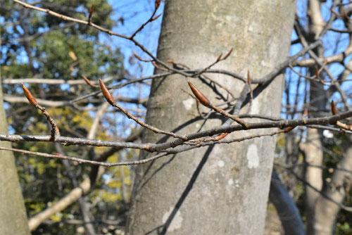 サワシバという木