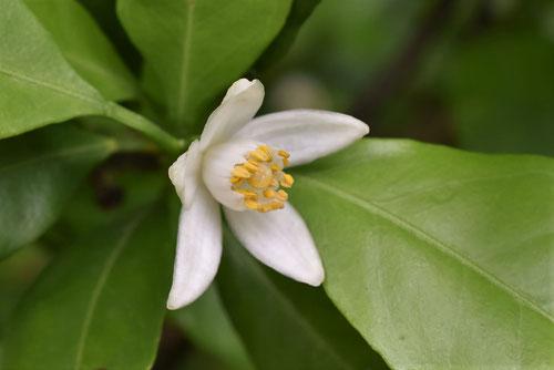 紀州ミカン,開花