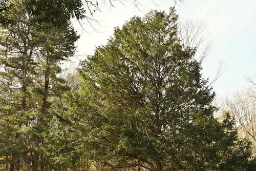 西洋イチイの木