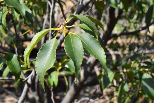 ハイノキの葉っぱ 画像