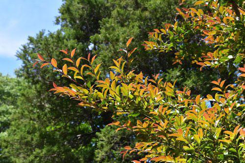 山茶花 葉っぱ 赤い 黄色い
