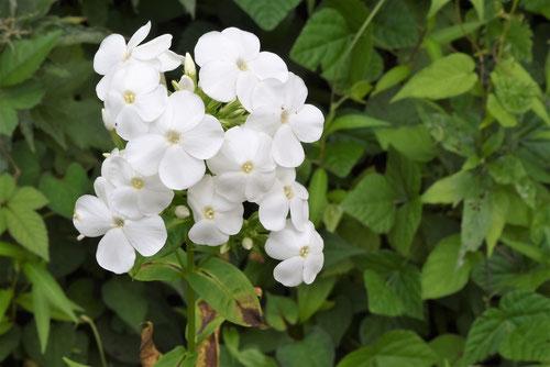 フロックスの花,ふろっくす
