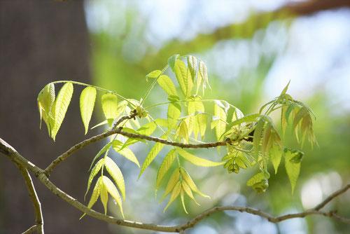 ノグルミの木,葉