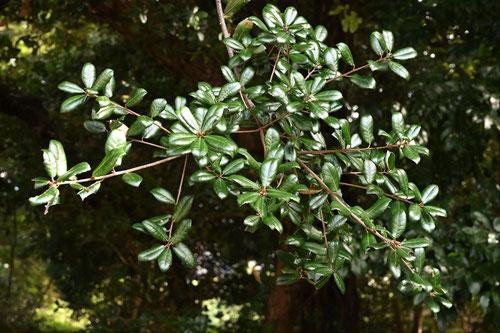 ウバメガシ,木の葉