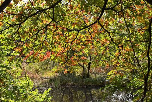 白膠木,紅葉