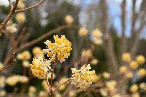 oriental paper bush,flower