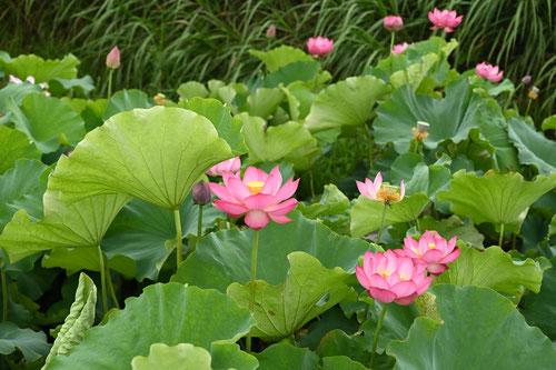 蓮の花,画像