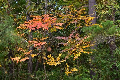 山漆の木,葉っぱ