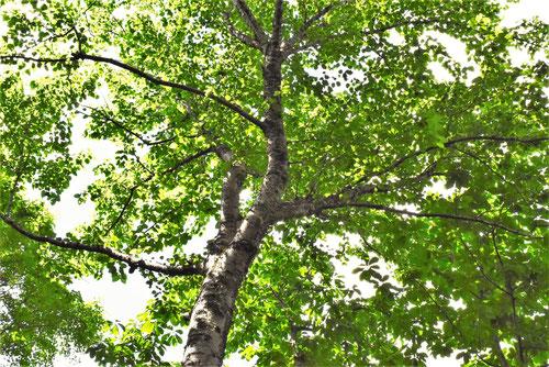 うだいかんばの樹木