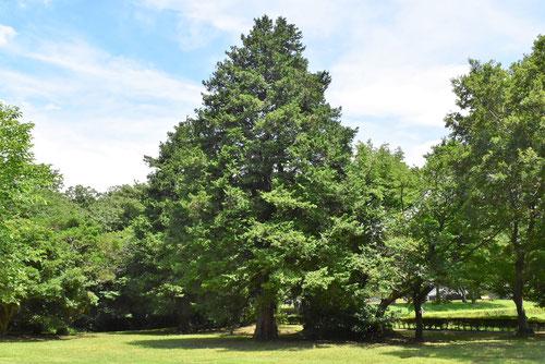 檜 画像 樹木図鑑
