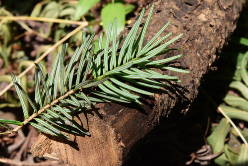 Japanese douglas fir