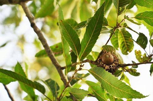 クヌギの木,見分け方