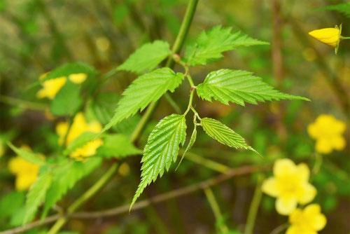 ヤマブキ 植木 葉っぱ 画像