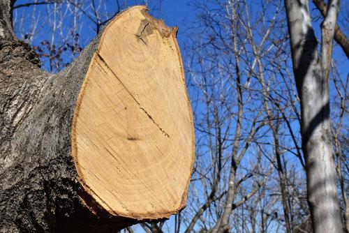 辛夷の木,伐採