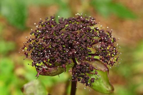 ヤマニンジンの花