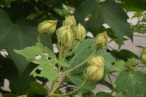 芙蓉の木の蕾