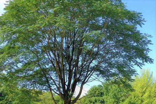 シンジュユ 樹木 特徴