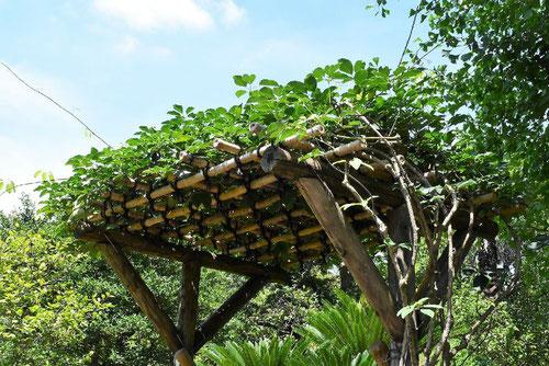 むべ棚,ムベの木