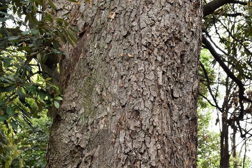 ロガシの大木