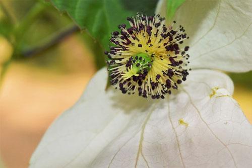鳩の木,開花