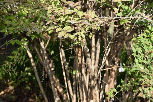 しょうきうつぎの木