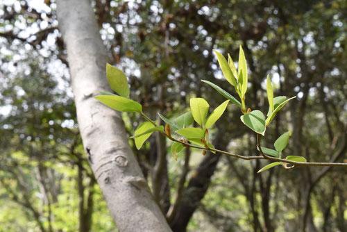 山胡椒の木