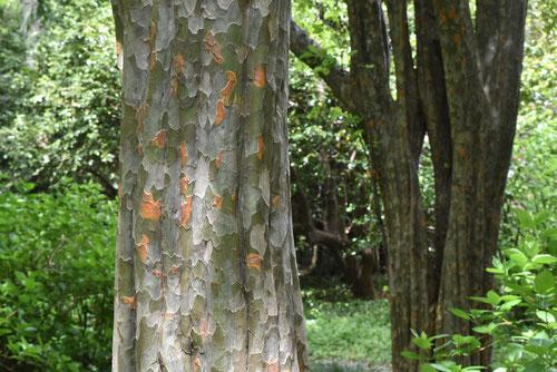 カリンの樹皮