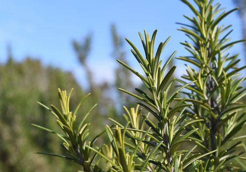マンネンロウ,植物