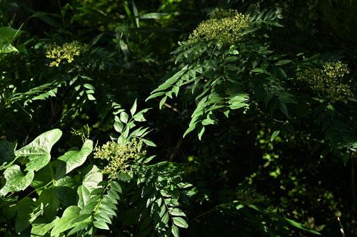 イヌザンショウの花,いぬざんしょう,画像