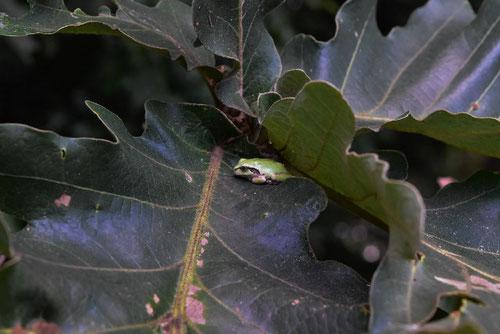 Daimyo oak,flog