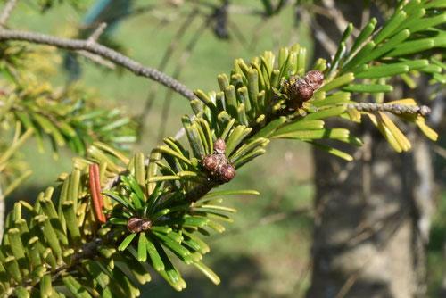 シラビソの木,特徴,しらびそ