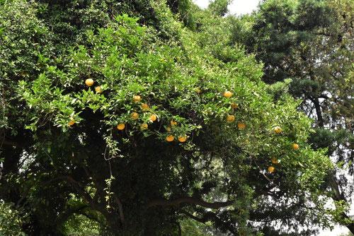ナツミカン,樹木