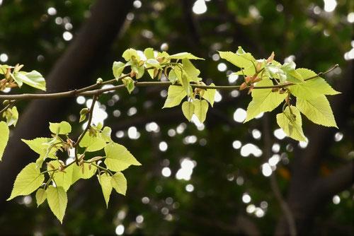 菩提樹の木,葉っぱ