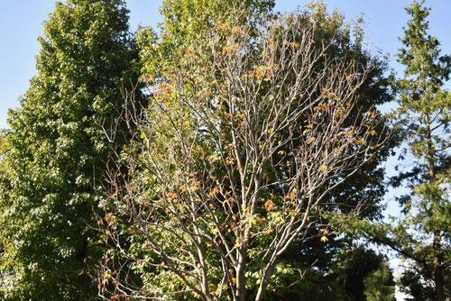 マロニエの木