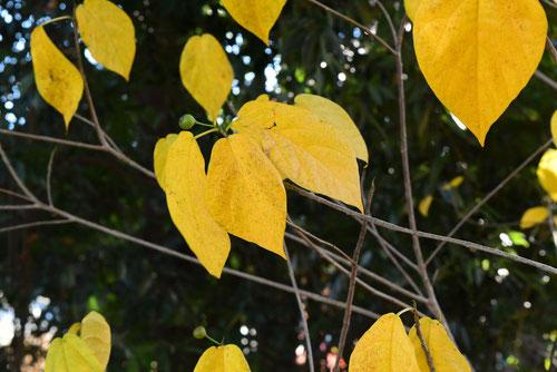 イヌビワ,いぬびわ,黄葉