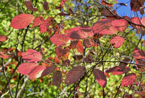 しらき,植木,紅葉