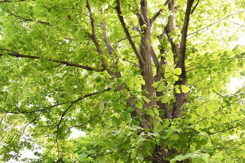菩提樹 画像 木