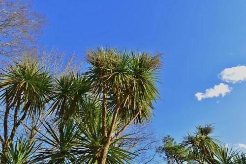 ドラセナの木