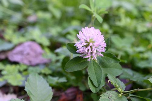 ピンクの花が咲くクローバー
