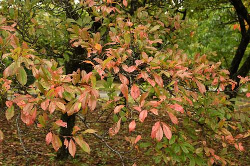 スモモ 黄葉 紅葉 画像