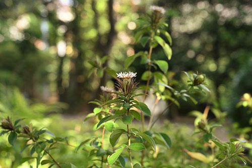 オケラという草花
