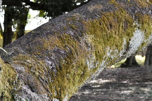 かん桜,木肌