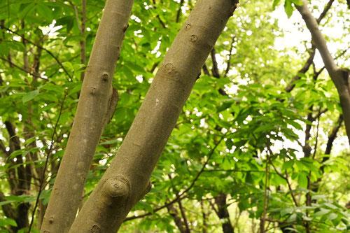 アブクタラシ,あぶくたらし,樹木図鑑