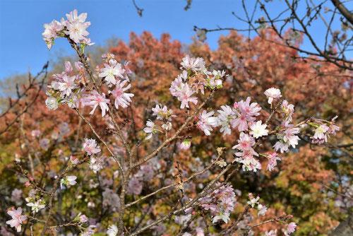 冬に咲く桜,画像
