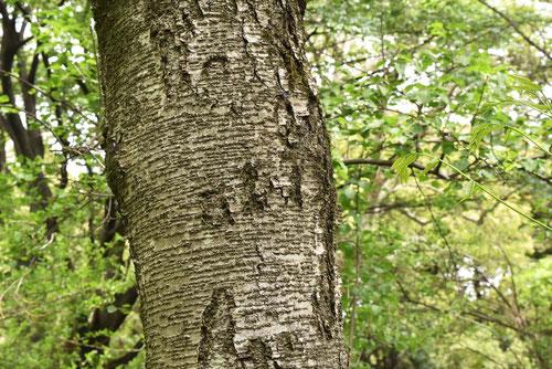 ミズメの幹、アズサの木