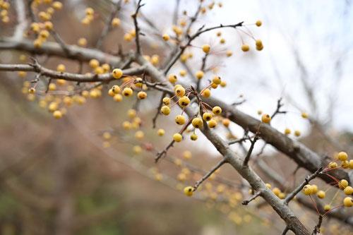 ズミ,品種,黄色