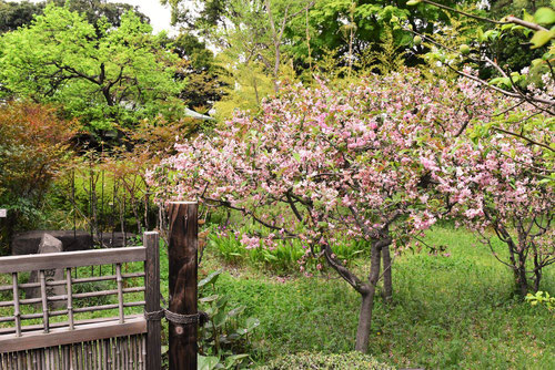 花海棠 開花時期