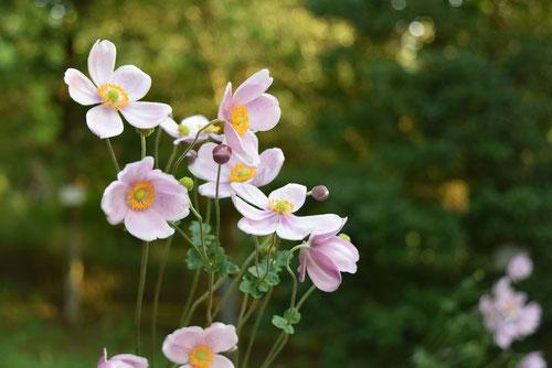 シュウメイギクの花,しゅうめいぎく
