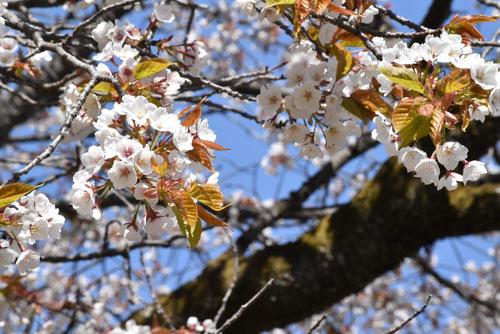 筑紫山桜,画像