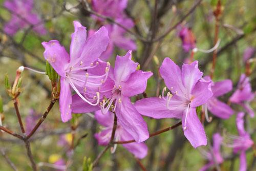 紫の花のツツジ